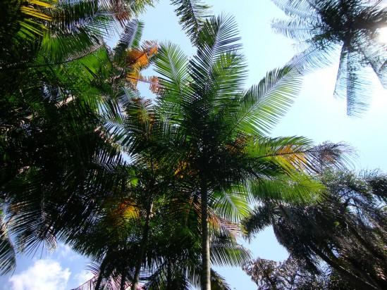 Palmeira Juçara
