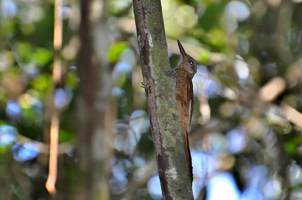 Arapaçu-barrado