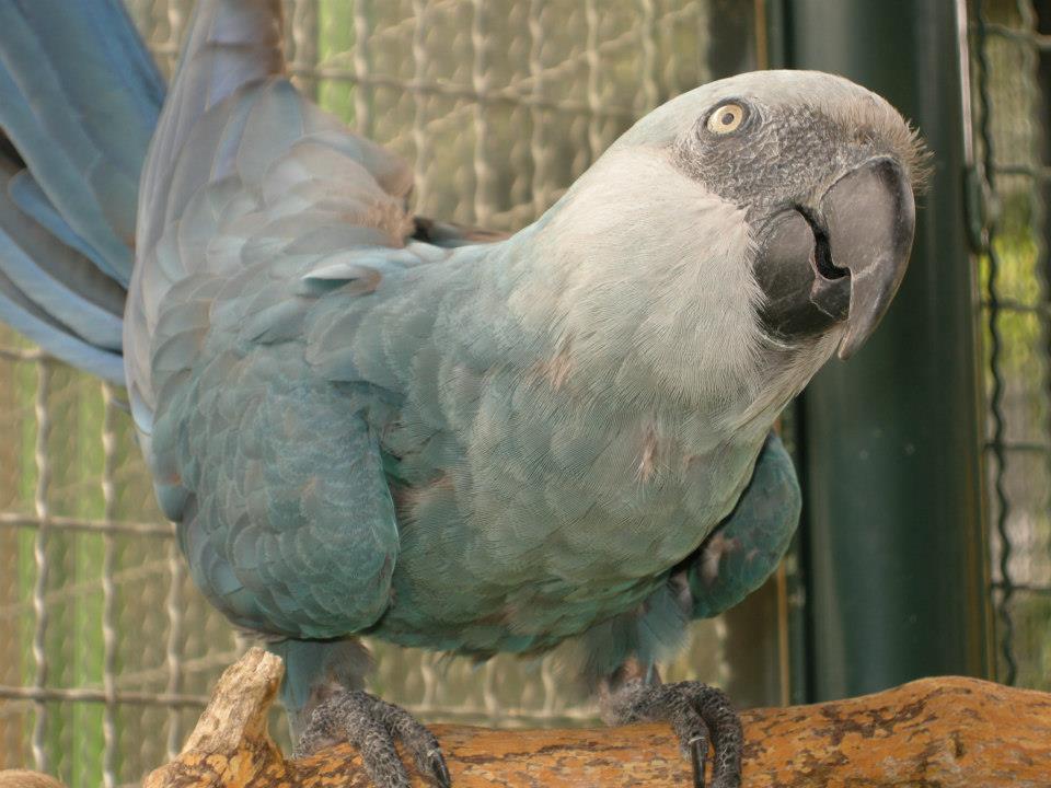 Conhecido Ararinha-Azul será reintroduzida na Caatinga - Pensamento Verde SH16