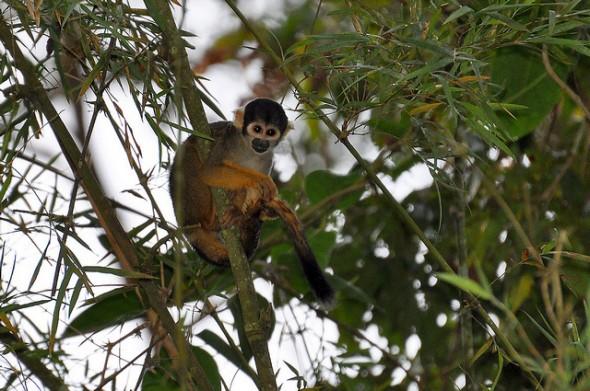 Macaco-de-cheiro