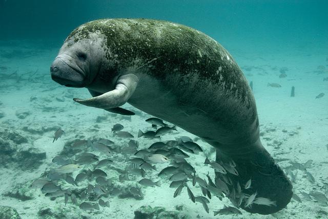 Peixe boi marinho