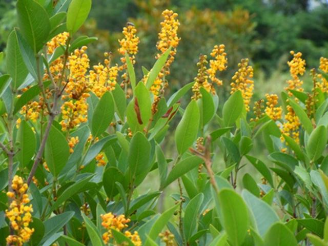 Plantas e animais do cerrado brasileiro pensamento verde for Especies de arbustos