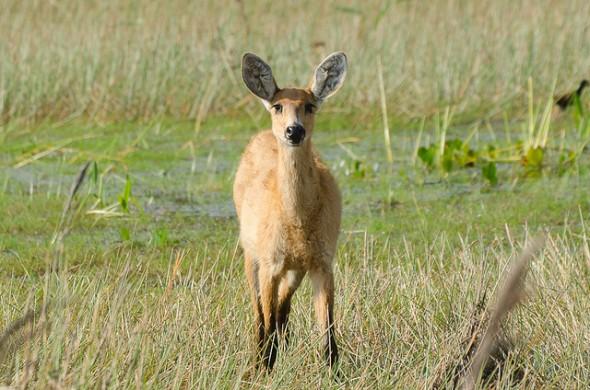 Cervo do Pantanal