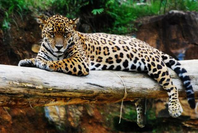 Conhe a os animais em extin o na mata atl ntica - Bichos en casa fotos ...