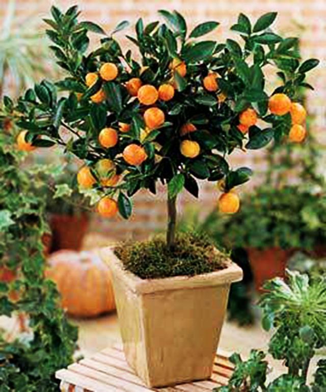 Aprenda a cultivar árvores frutíferas em vasos - Pensamento Verde