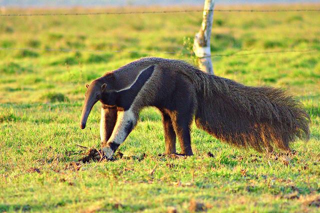 Populares Quais são os animais em extinção no cerrado? - Pensamento Verde IF77