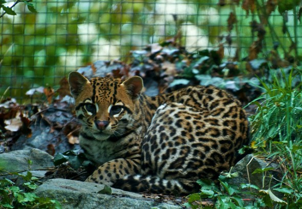 Jaguatirica (Leopardus Pardalis)