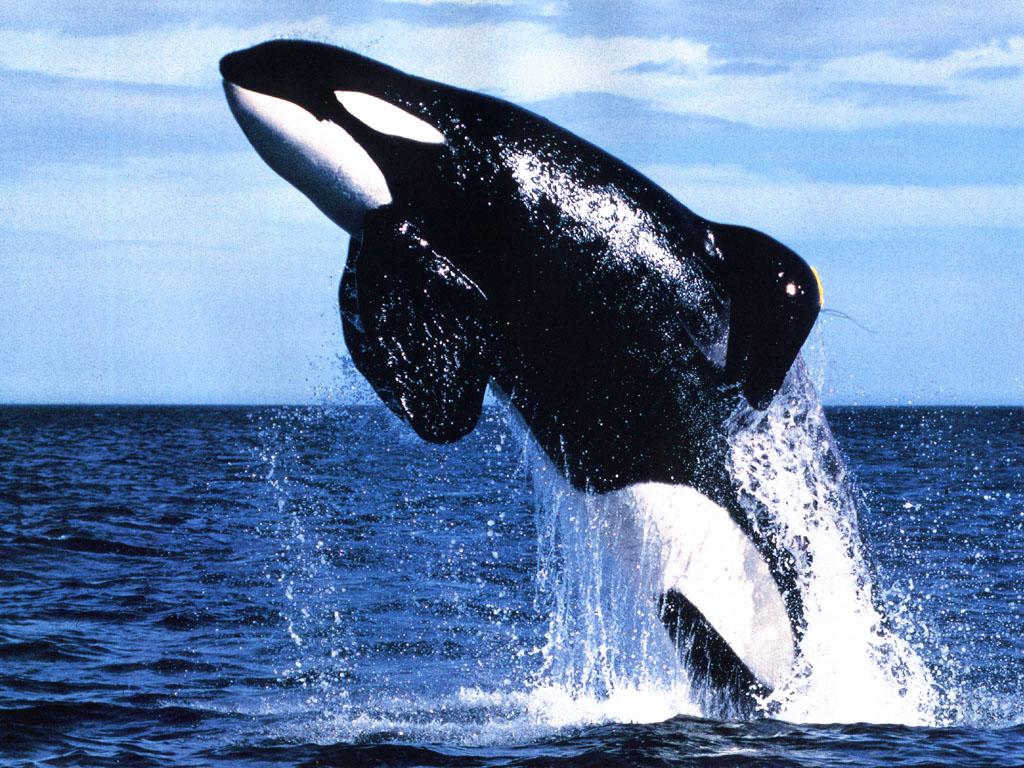 Caça de baleias