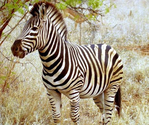 Zebra de Grévy