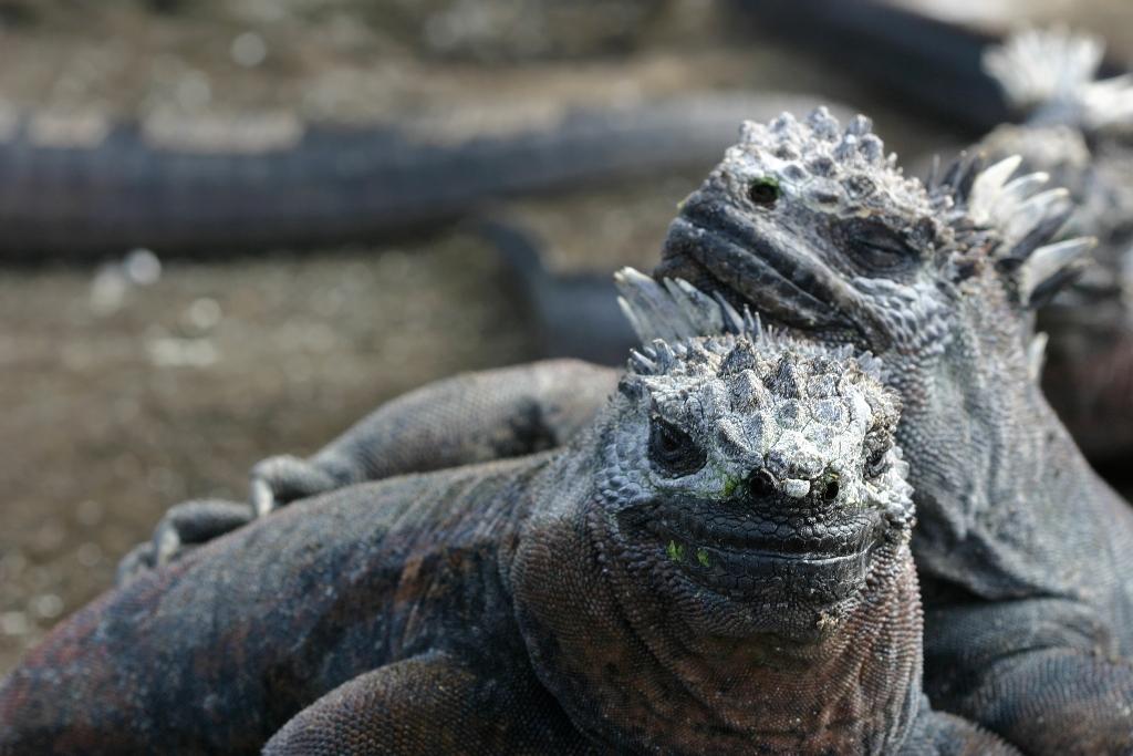 Iguana marinha da Ilha Galápagos