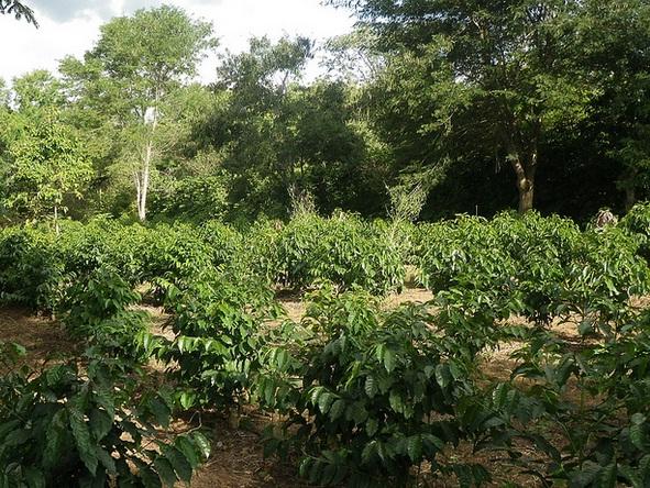 Nas agroflorestas as espécies nativas coexistem com plantas herbáceas, vegetais ou culturas agrícolas.