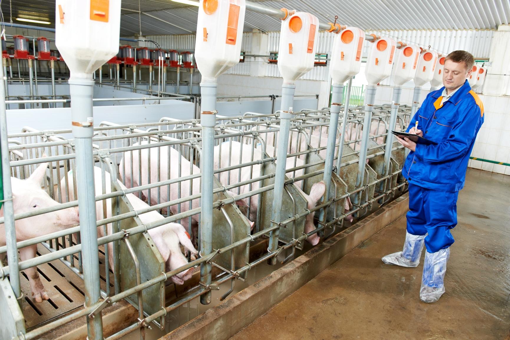 Voltado para o aumento da produtividade e diminuição de custos, a prática é prejudicial ao desenvolvimento do animal.