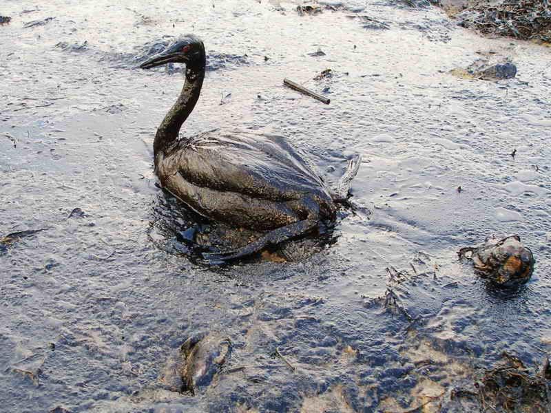 As marés negras são consideradas umas das maiores catástrofes ecológicas em todo o mundo.