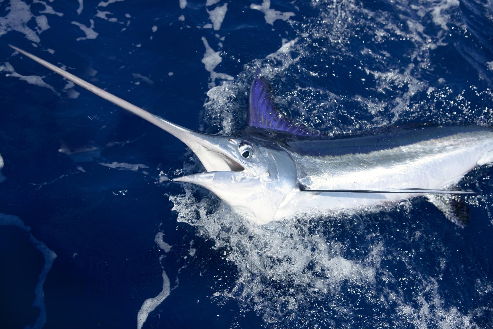 Informa es e curiosidades sobre o peixe espada for Curiosidades del pez espada