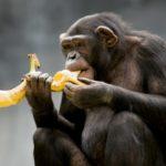 Conheça 3 animais frugívoros e como vivem