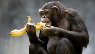 foto de macaco comendo banana