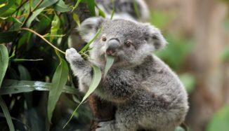 foto de coala comendo folha