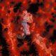 foto de cavalo-marinho pigmeu