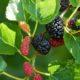 árvore frutífera com amoras